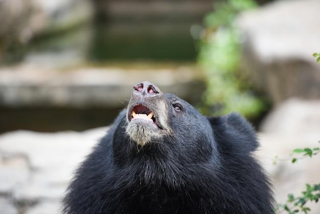 ツキノワグマが立って夏にリラックス-動物園で食べ物を待っているツキノワグマ