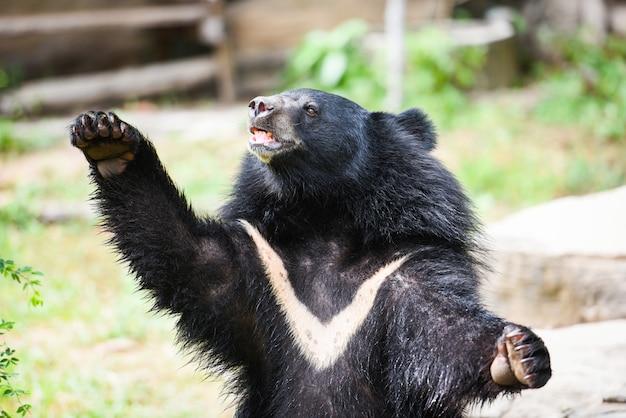 Asiatic black bear in the zoo