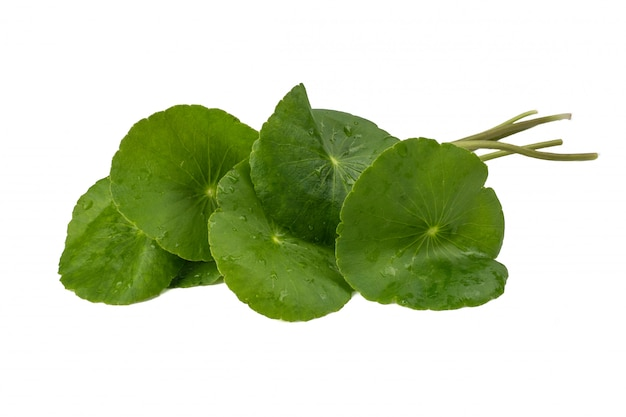 Asiatic leaf herb gotu kola, indian pennywort, centella asiatica, tropical herb