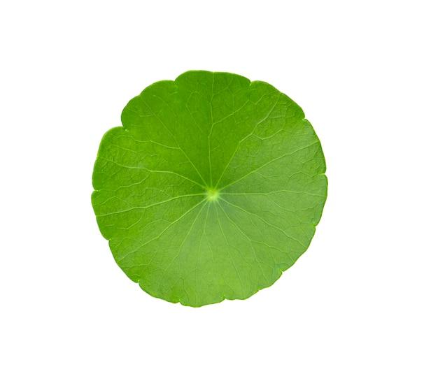 白い背景で隔離のアジアの葉。