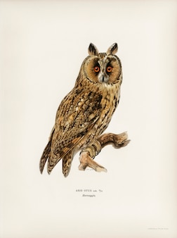 Asio otus owl illustrated by the von wright brothers.