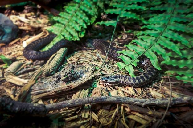 Asp viper vipera aspis в лесу