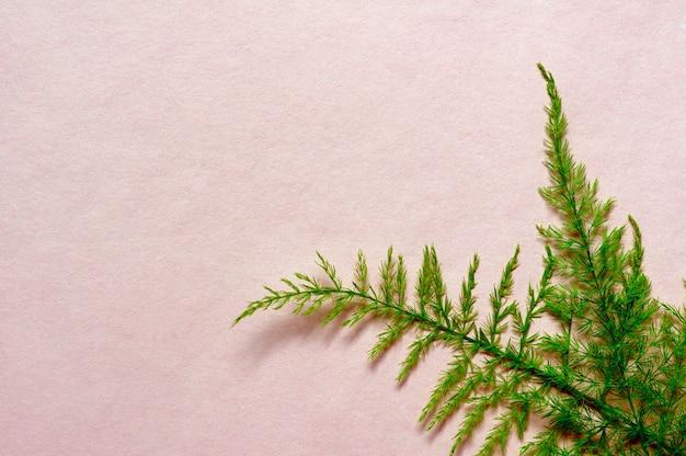 아스파라가 잎, 아스파라거스 세타세우스, 등반 아스파라거스, 분홍색 종이에