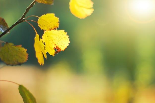 Ветвь осины с золотыми листьями осенью. закатные лучи, осенний фон.