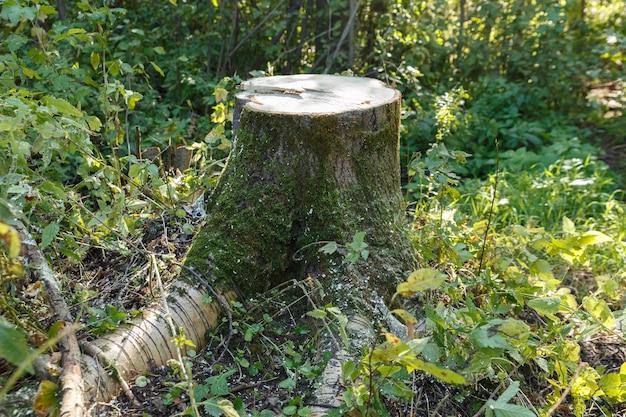 숲 속의 아스펜 그루터기 여름 숲에서 톱질한 나무