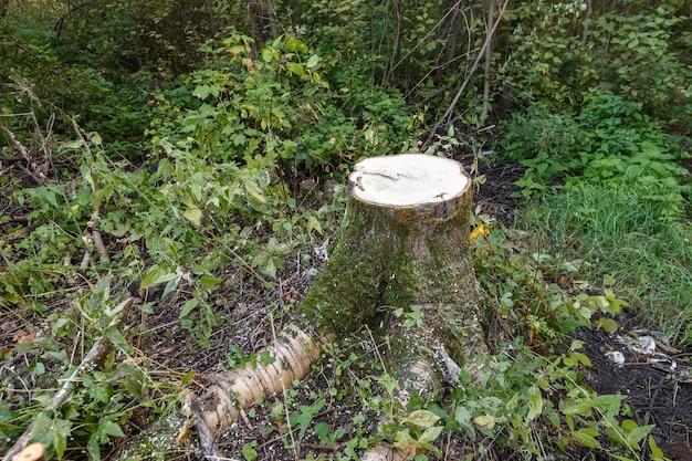 Осиновый пень в лесу