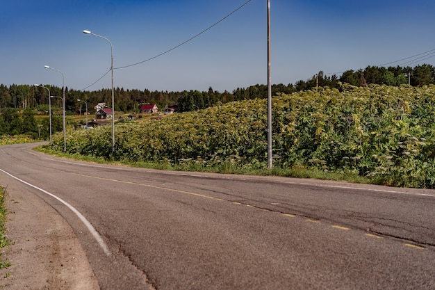 Asphalt road in the countryside giant hogweed growing on side blue cloudless sky on background