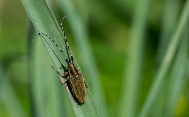 Asfodelo scarabeo dalle lunghe corna, agapanthia asphodeli, poggiante su una foglia.