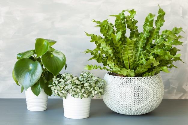 植木鉢の観葉植物asplenium nidus、peperomiaおよびfittonia