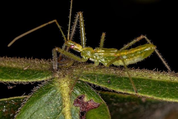 ハルパクトリーニ族のサシガメ幼虫