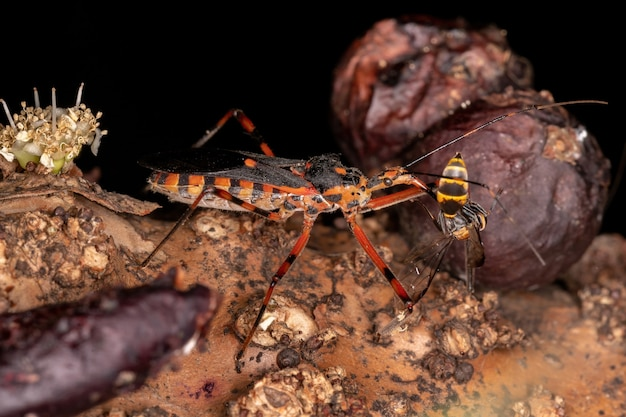 Assassin bugs of the species zelus armillatus preying on a wasp