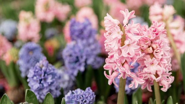 Assortment with colourful hyacinths