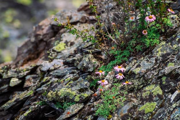 Астра альпинус растет на скалах среди камней. удивительные розовые цветы с желтой серединкой. альпийские астры на скале крупным планом. растительность горной местности. красивая горная флора с копией пространства. чудесные растения