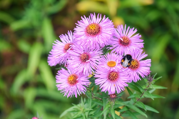 Aster amellus, the europe michaelmas daisies flowers and big bee.
