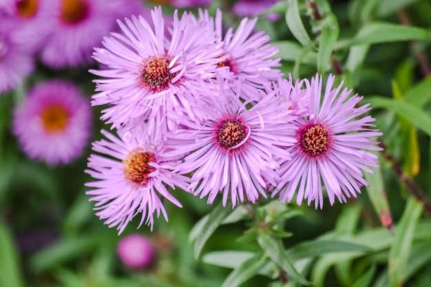 Aster amellus, the europe michaelmas daisies with blur green background.