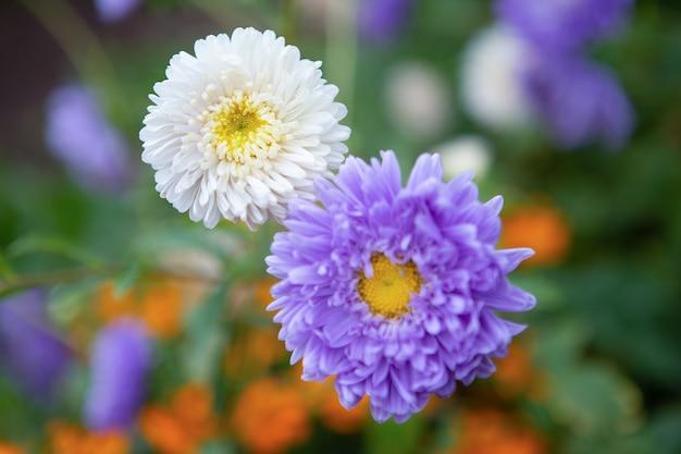 アスター-美しい花序を持つ観賞用植物-バスケット。