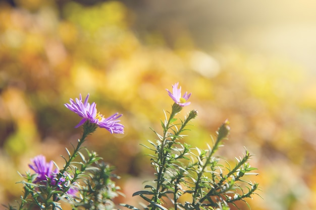Aster violet  flowers in autumn light, shallow focus