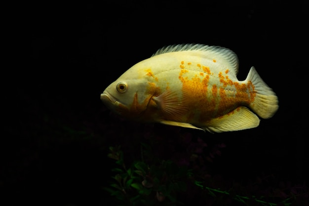 Astronotus ocellatus fish also known as oscar fish isolated on black