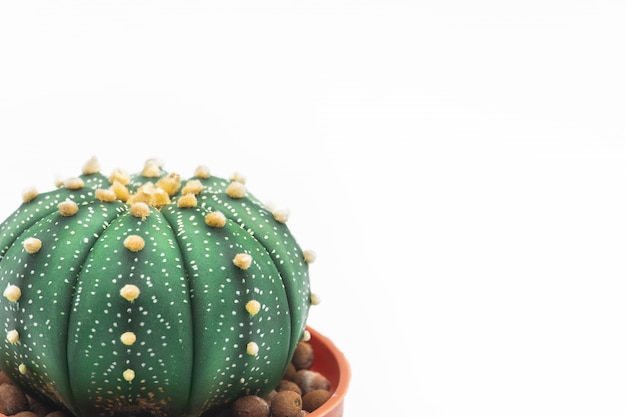 Astrophytum asterias cactus или звездный кактус изолят на белом фоне