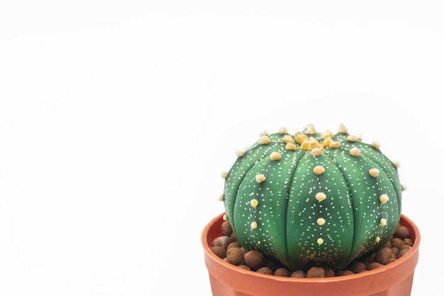 Astrophytum asteriasサボテンや星のサボテンは白い背景に分離します。