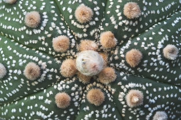 サボテン熱帯植物astrophytum asterias背景のクローズアップ