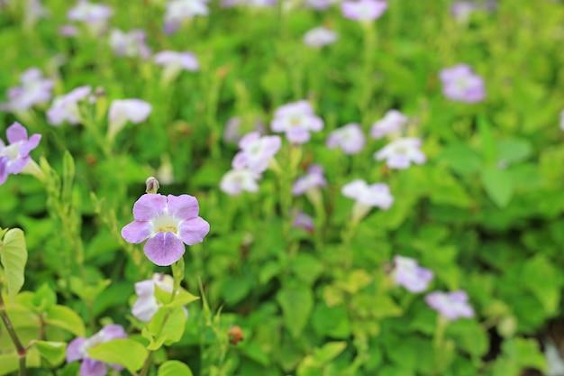 Asystasia gangetica or coromandel blooming flower in the garden