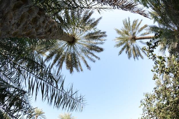 その甘い食用果実のために栽培されたヤシ科のヤシの木を食べました