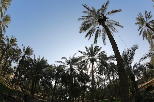 Ate palm  tree of the palm family cultivated for its sweet edible fruits