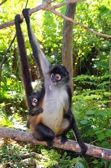 Ateles geoffroyi  spider monkey central america