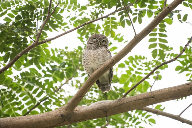 Athene brama, owl symbol of bad resting during the daytime