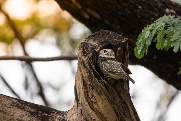 Афина брама, сова символ плохого отдыха в дневное время