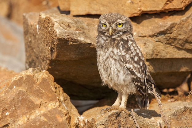 Athene noctua owl perched on rocks during daytime