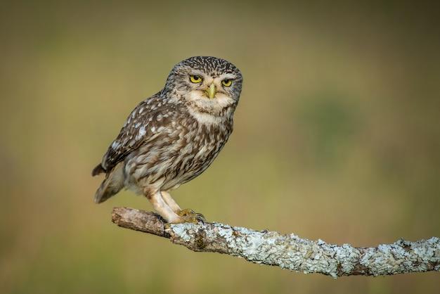 Маленькая сова athene noctua