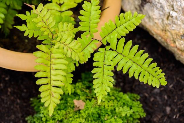 Athyrium filix femina植物シダの葉