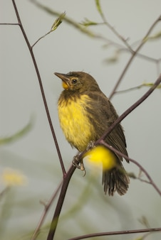 Uccello canarino atlantico seduto sui rami di una pianta