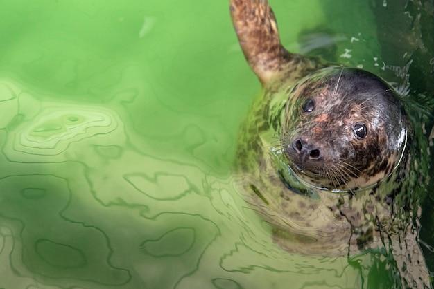 ハイイロアザラシ-テラリウムの水面で泳ぐhalichoerusgrypus。 Premium写真