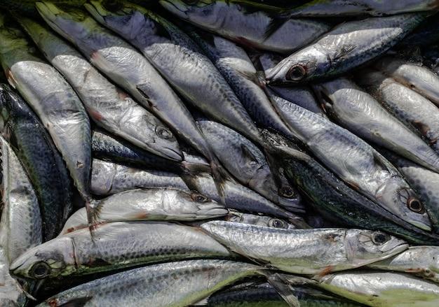 Atlantic mackerel, recently captured