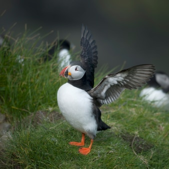 Atlantic puffin or common puffin - fratercula arctica on mykines, faroe islands
