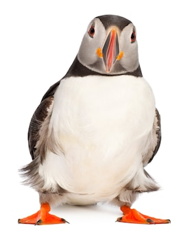 Atlantic puffin or common puffin- fratercula arctica