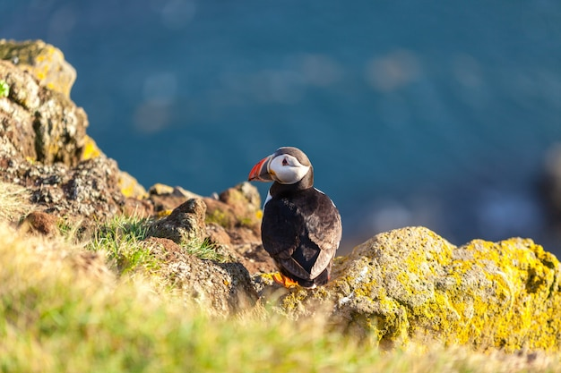 Atlantic puffin -fratercula arctica- on a coast cliff in western iceland