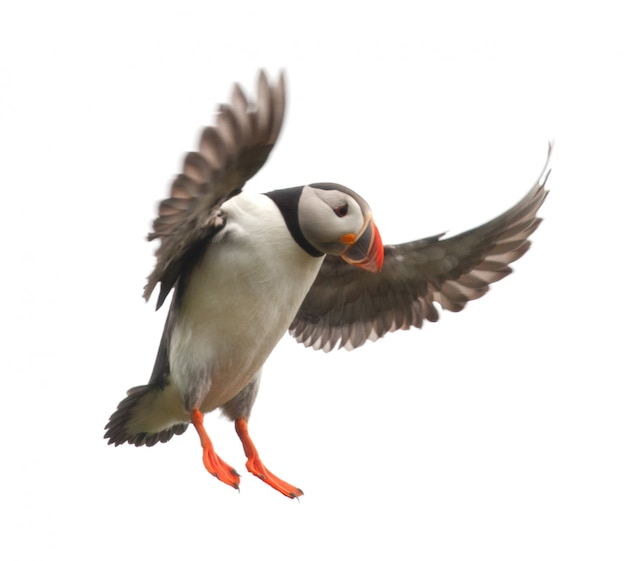 대서양 puffin 또는 일반적인 puffin-비행 중에 fratercula arctica