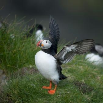 大西洋puffinまたは一般的なpuffin-ミキネス、フェロー諸島のfraterculaアークティカ