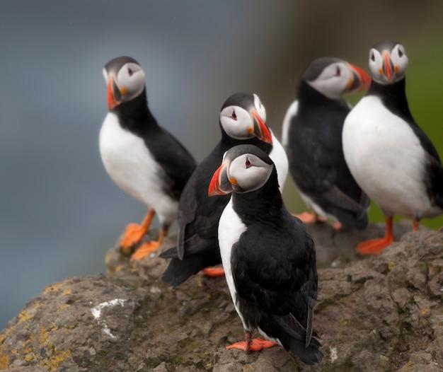 대서양 puffin 또는 일반적인 puffin-mykines, fraoe islands의 fratercula arctica