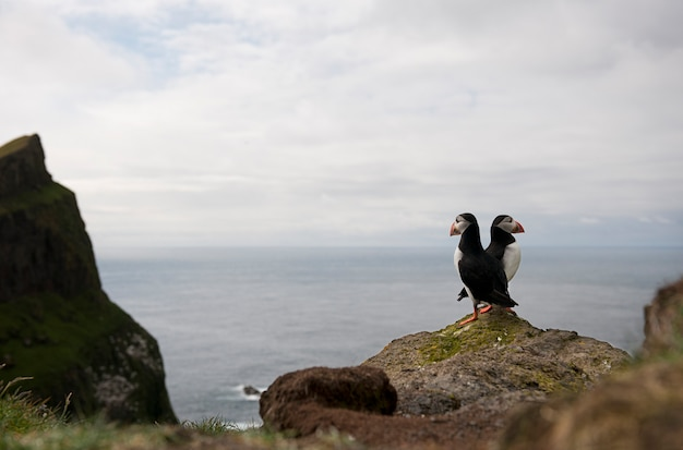 Атлантический тупик или обыкновенный тупик - fratercula arctica на микинах, фарерские острова
