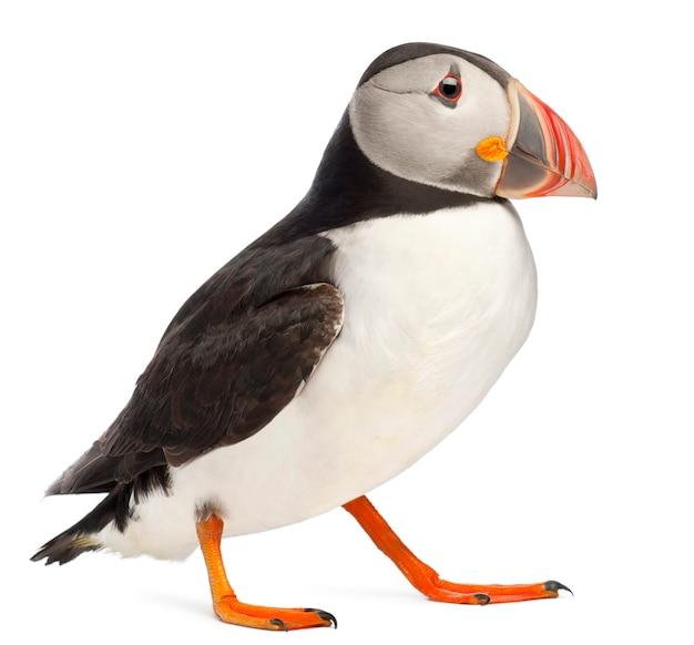 대서양 puffin 또는 일반적인 puffin- fratercula arctica