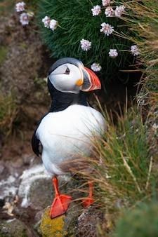 Atlantic puffin standing on cliff with flowers.