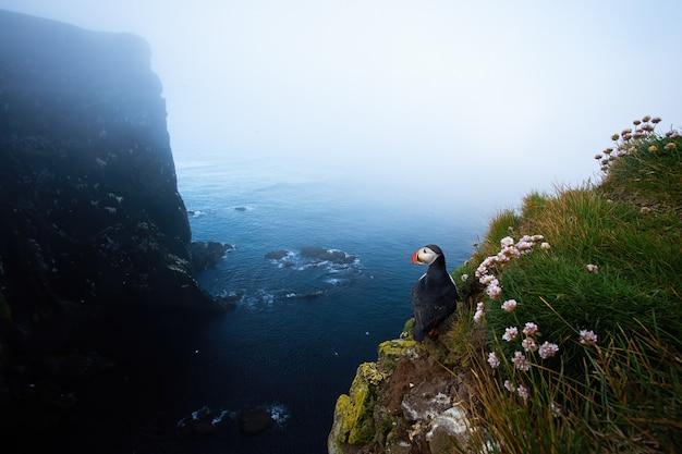 夏のアイスランドの自然の崖の上に立っているニシツノメドリ