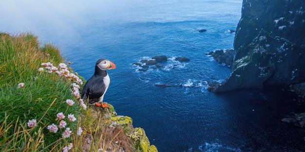 夏の崖の上に立つニシツノメドリ。