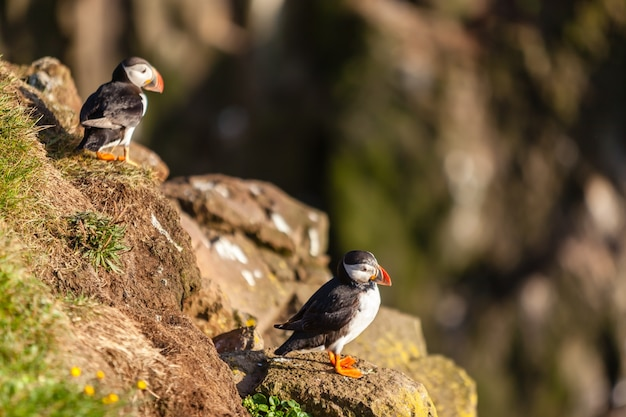 Atlantic puffins -fratercula arctica- on a coast cliff in western iceland