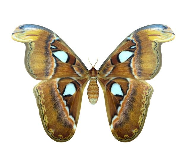 Атласская моль или атлас атласа - большая бабочка